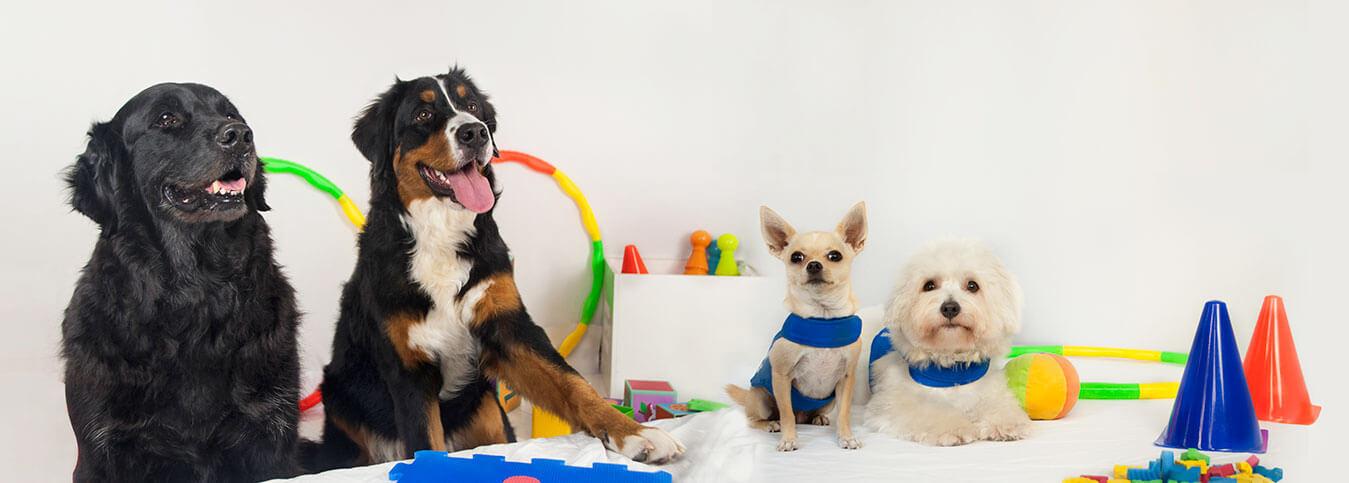 Equipo canino entrelazadogs