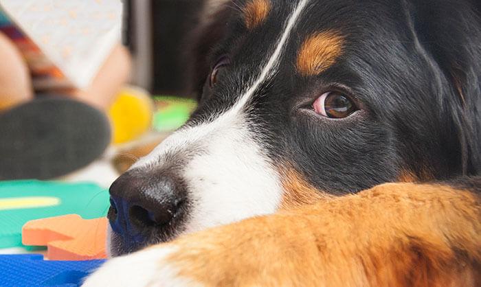 Perro de terapia entrelazadogs